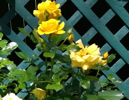 Yellow Knockout Rose Bush